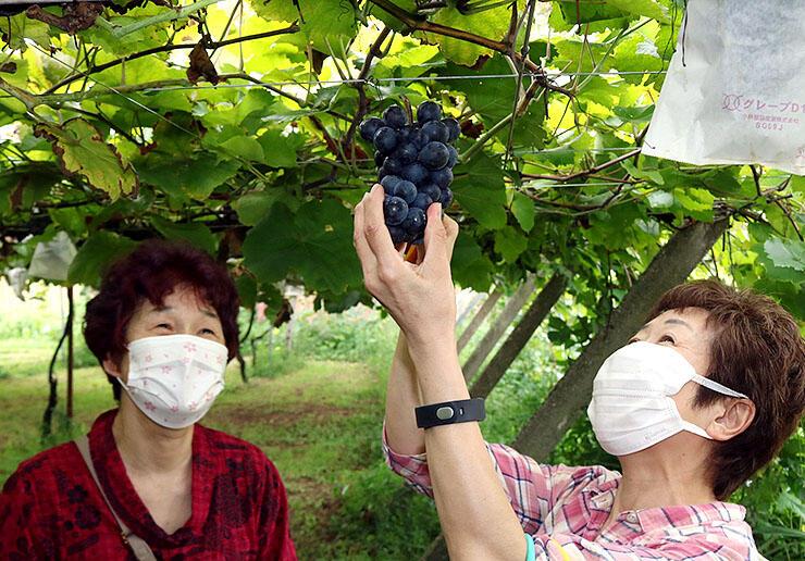 丸々と実ったブドウを摘み取る来園者