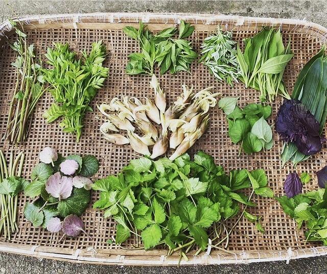 アーシングツアーで収穫した山菜や野草=福井県池田町