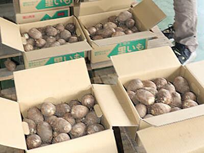 サトイモ「大和」豊作期待 上市で初選別・目ぞろい会