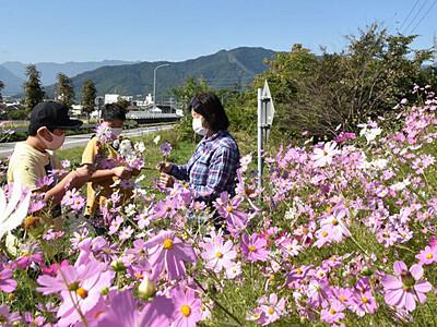 バイパス彩るコスモス 上田で住民の会、写真も受け付け