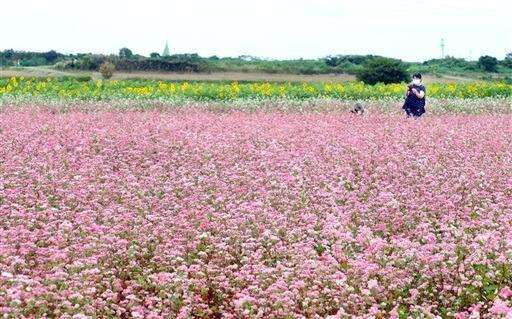 見ごろを迎えているピンク色のソバの花=福井県坂井市三国町池上