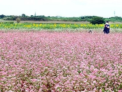 ピンクのソバの花、揺れる 福井県坂井市三国