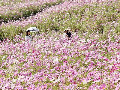 花のじゅうたん見ごろ となみ夢の平、コスモス100万本