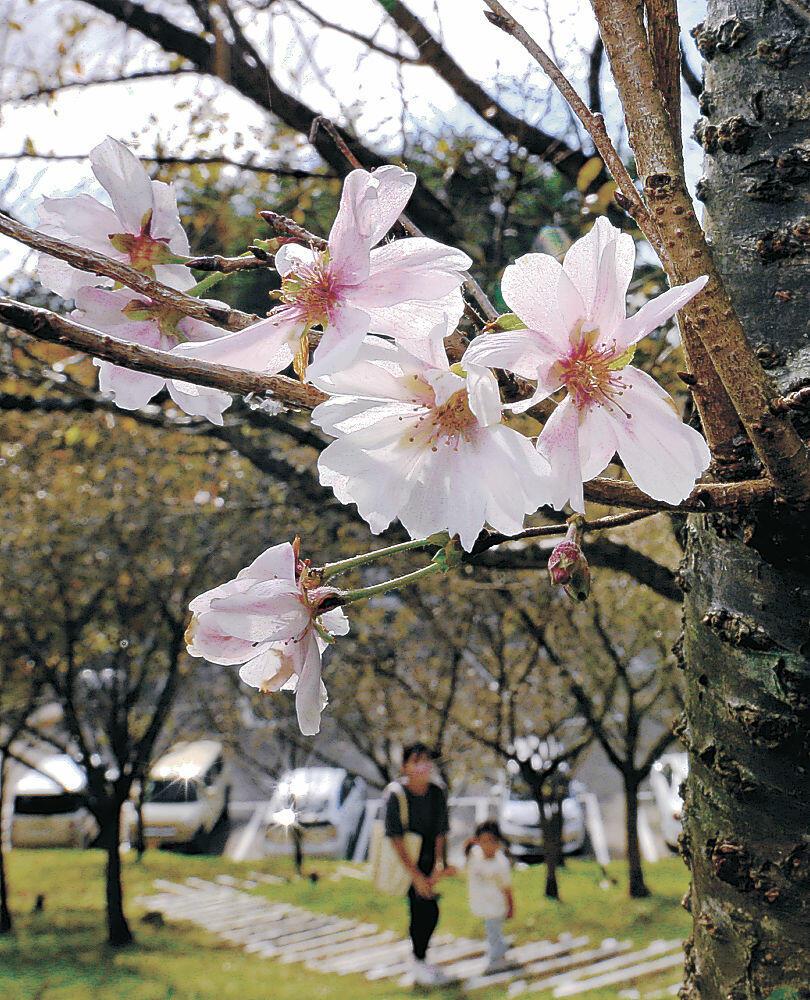 花を付け始めたジュウガツザクラ=金沢市の奥卯辰山健民公園