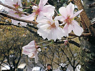 秋の花見 金沢・奥卯辰山健民公園でジュウガツザクラ