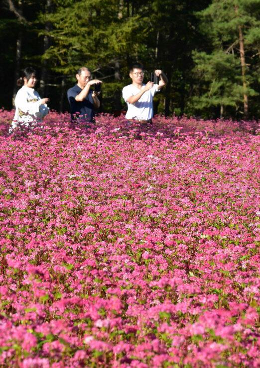 赤ソバの花が咲き誇る「ルビーの里駒ケ岳ガーデン」=7日