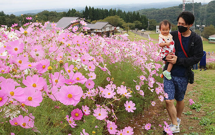 かれんなコスモスの花を楽しむ親子連れ