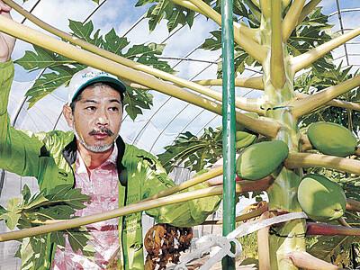 南国の味 金沢の人に 沖縄出身・宮城さん 青パパイア今年から栽培 週末に初収穫