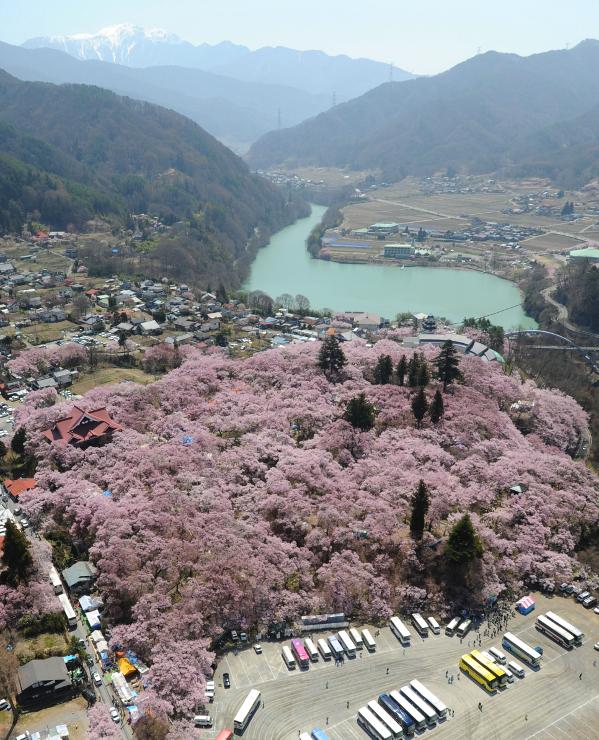 満開の高遠城址公園の桜