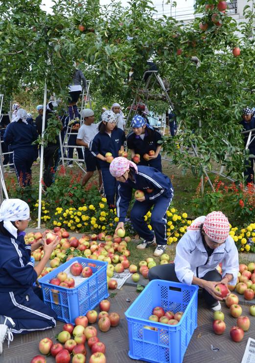 りんご並木のリンゴを収穫する東中の生徒たち