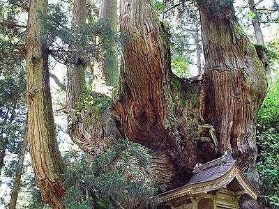 岩屋の大杉(岩屋観音)